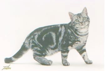 Speedy photographed at 7 months, winning at Madison Square Garden as a kitten
