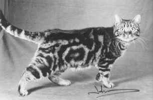 Picture of Gr.Pr.Crown E Wicked Wahini, brown tabby American Shorthair